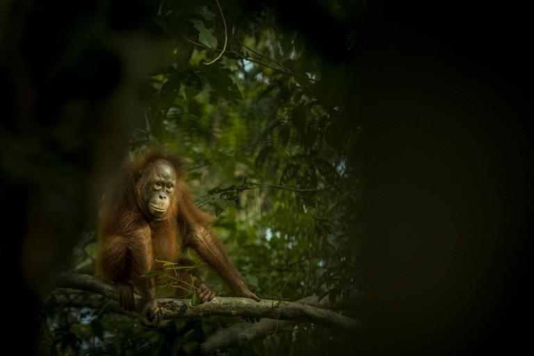 Tom Svensson. Orangutan, Kalimantan, Borneo, Indonesia