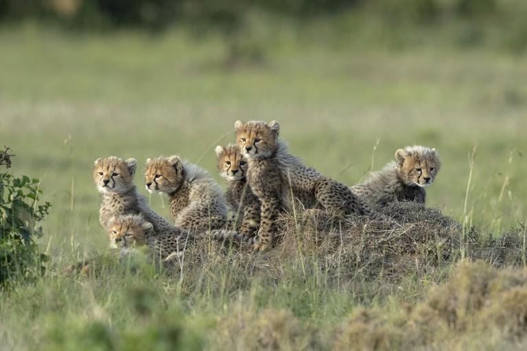 Usha Harish. Cheetah babies. Masai Mara National Reserve, Kenya