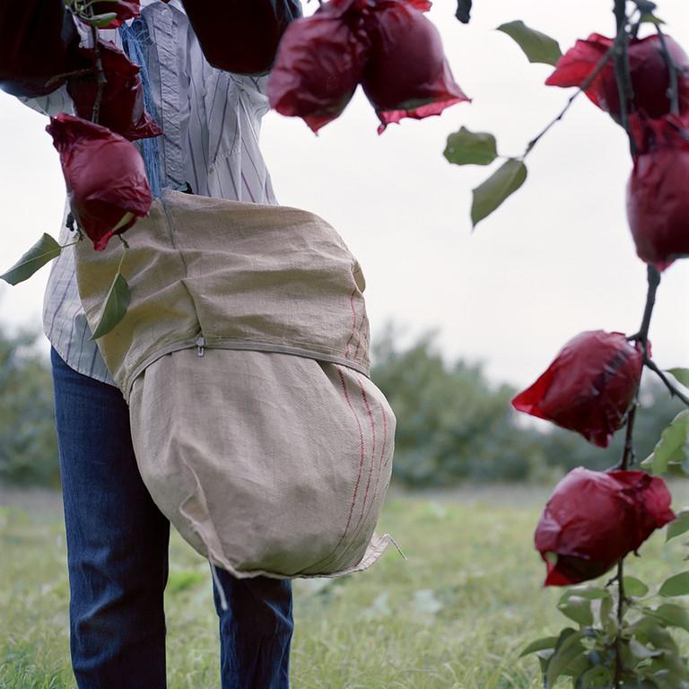 Unbagging Apples, Fall, Aomori Prefecture