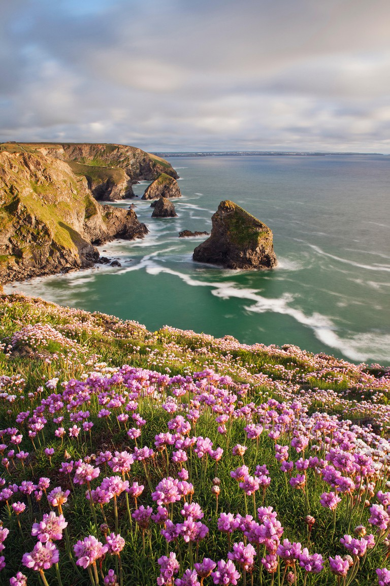 Coastline at Bedruthan Steps in spring with flowering thirft in foreground, St Eval, Cornwall, England