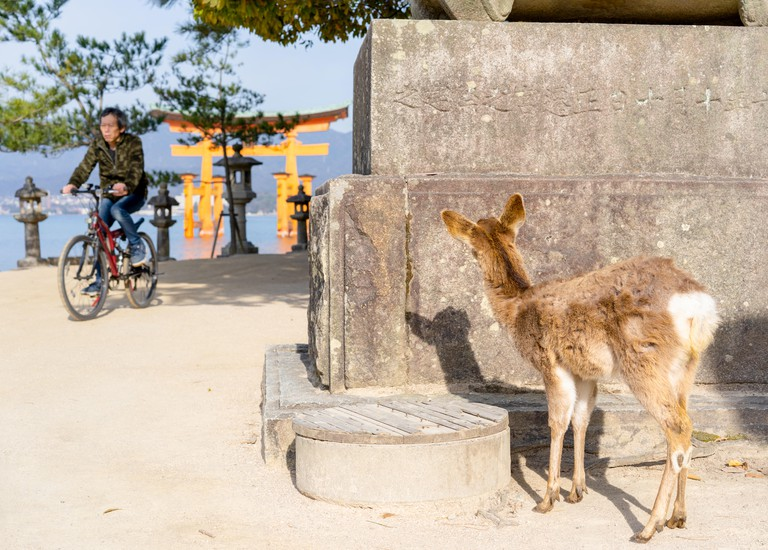 A deer looking at a cyclist in front of the Itsukushima shrine torii gate, Miyajima , Japan