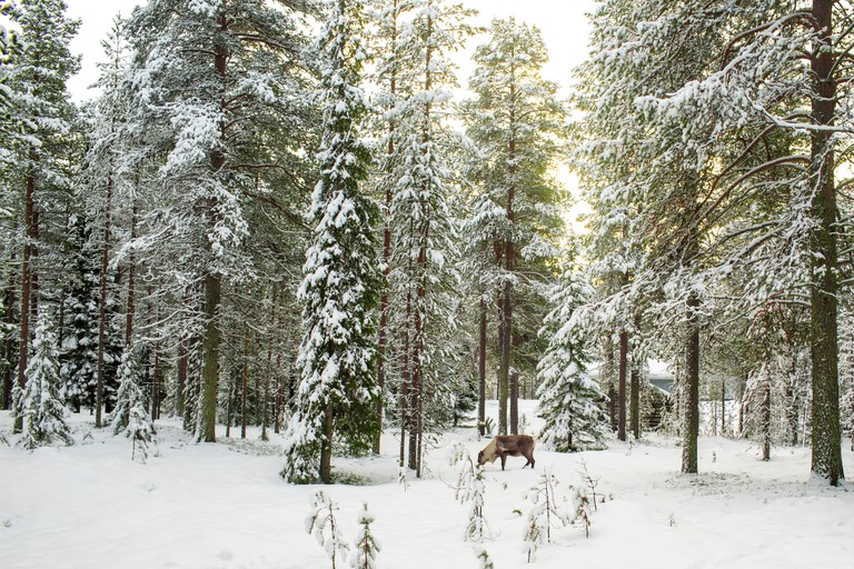 Beautiful Scenic View Of Snowy Forest With Tall Pine Trees And A Reindeer  During Winter In Lapland Finland, Season's Greeting Christmas