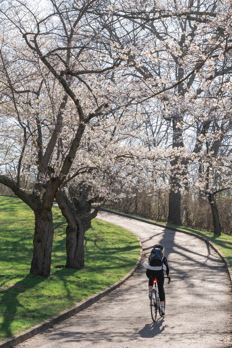 Cyclist riding through Japanese cherry blossom trees in the morning light. Spring sunrise in High Park, Toronto.