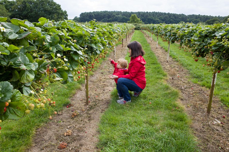 Mother and child picking strawberries at Parkside Pick Your Own Farm, Enfield
