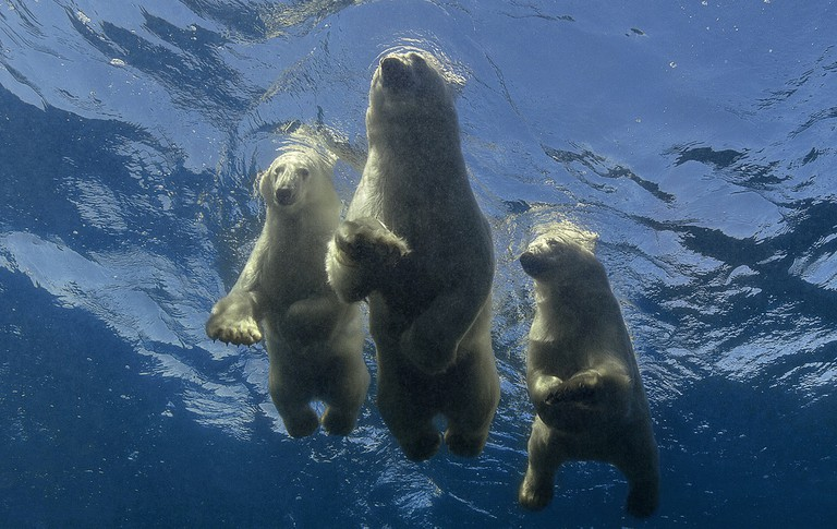 FINAL_Polar bear family Underwater_9919