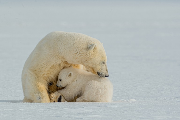 FINAL_Polar bear nursing
