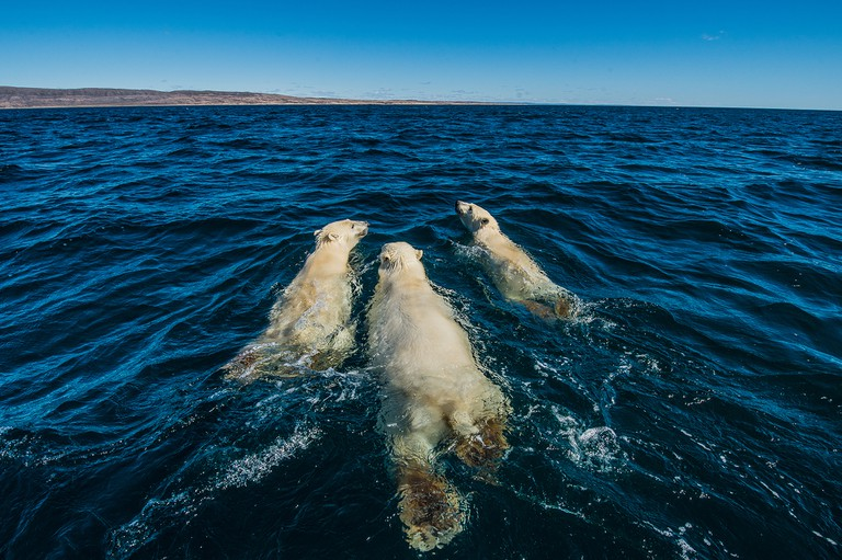 Swimming bear family