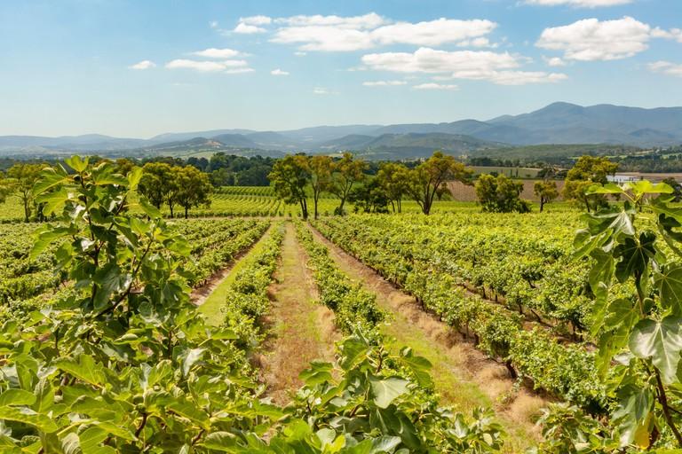 Rows of vines in the Yarra Yering vineyard in the Yarra Valley of Victoria, Australia.