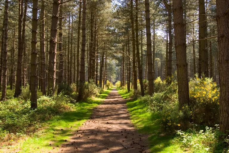 Thetford Forest,Norfolk,Uk. Image shot 2008. Exact date unknown.