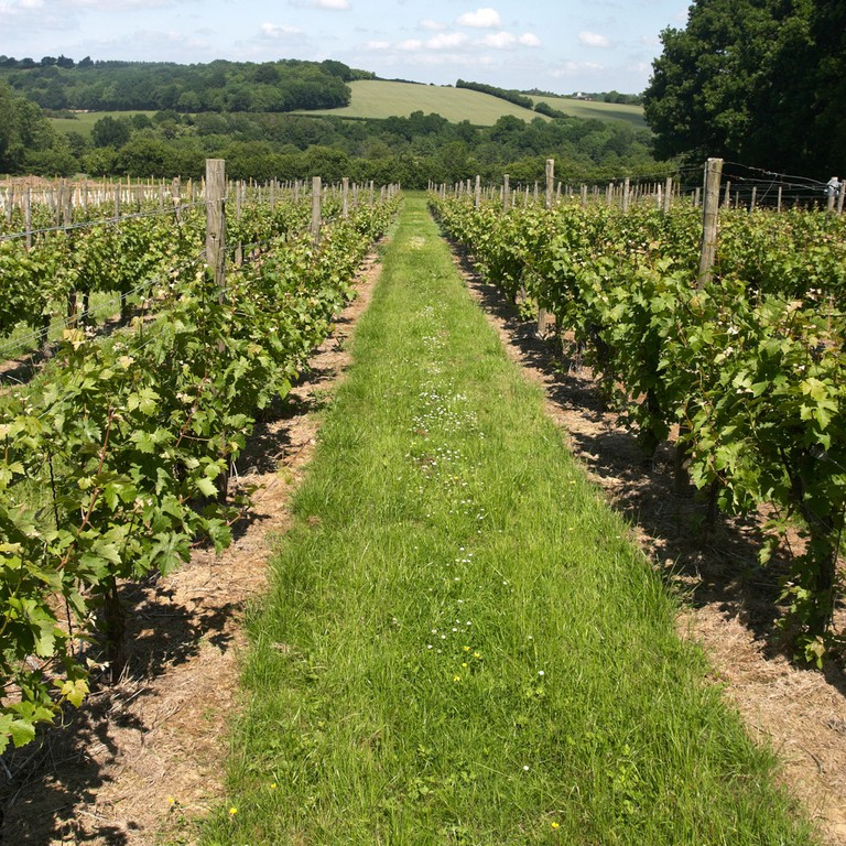 Young grape vines planted at the Chapel Down winery in Tenterden, Kent, England.