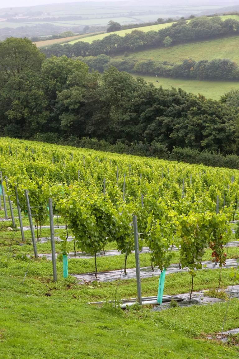 Rows of vines at Camel Valley Vineyard near Bodmin, Cornwall.