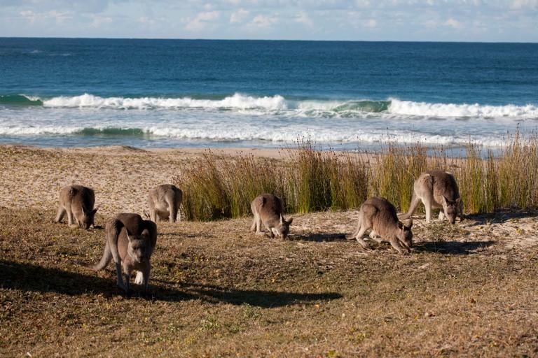 Eastern Grey Kangaroos at Pebbly Beach, Murramarang National Park, South Coast New South Wales.