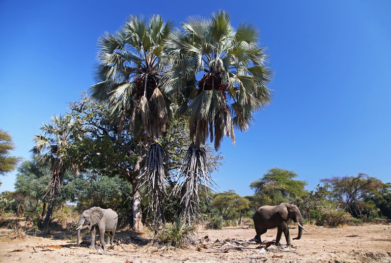 elephants under a palm at Lower Zambezi National Park, Zambia