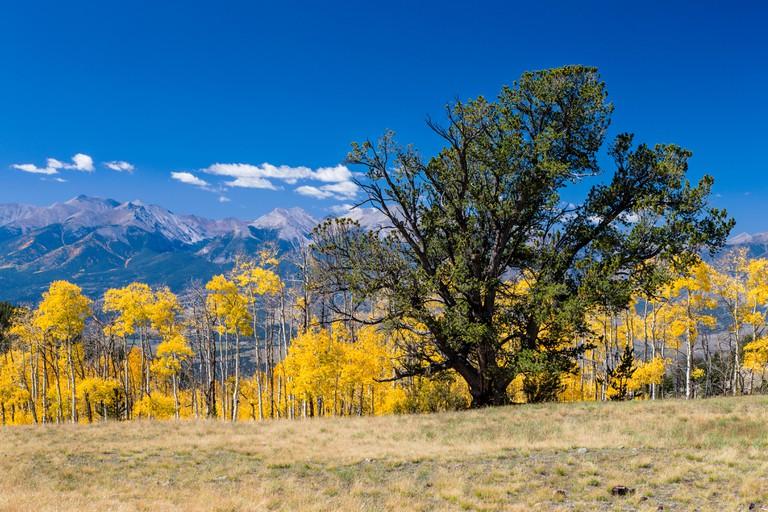 Pinus ponderosa, ponderosa pine, bull pine, blackjack pine,or western yellow pine needles and Aspen fall foliage colors