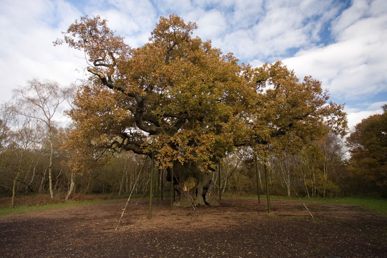Major Oak Sherwood Forest. Image shot 11/2008. Exact date unknown.