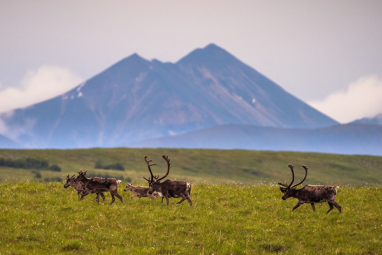 The Porcupine Caribou herd summer migration through Yukon's arctic North Slope region.
