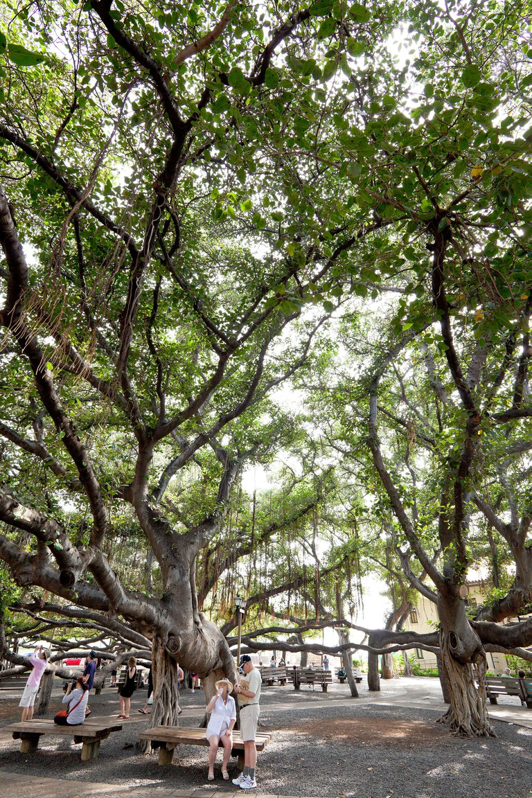 Large single Banyan Tree that covers all of Banyan Tree Park in Lahaina on the island of Maui in the state of Hawaii USA