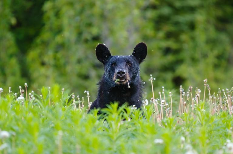Black Bear in Kluane National Park