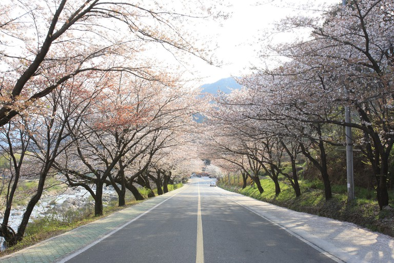 Hwagae 4km Cherry Blossom Road (KTO - Kim Jiho) (3)