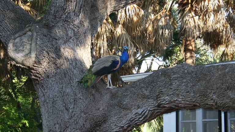 Peacock at Mayfield Park © jinglejammer/Flickr