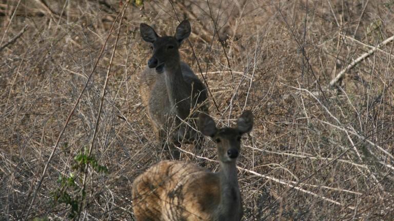 Wild deers at Baluran National Park