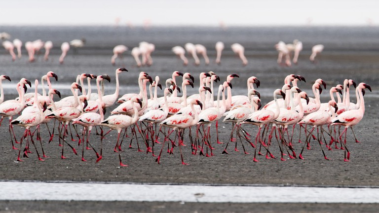Flamingos on Lake Natron