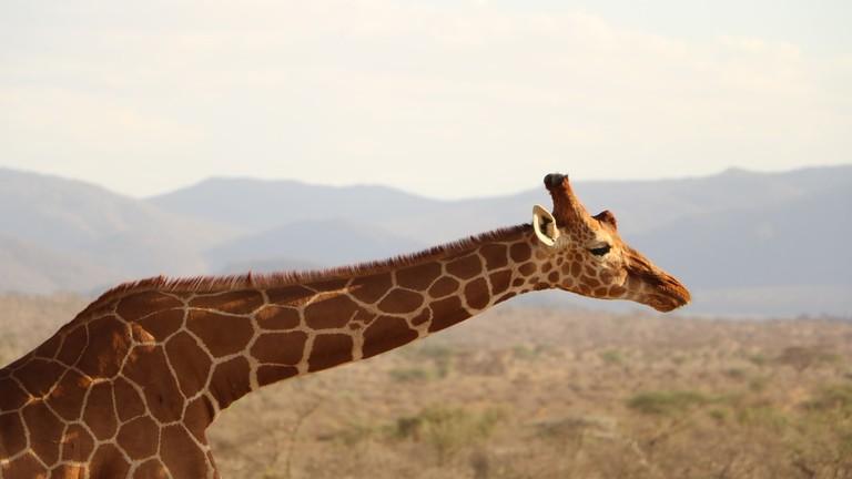 Giraffes are part of the wildlife CC0 Pixabay