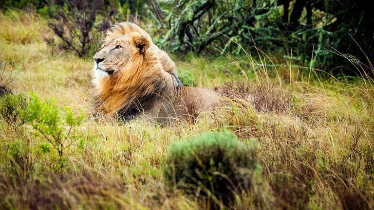 South African lion CC0 Pixabay