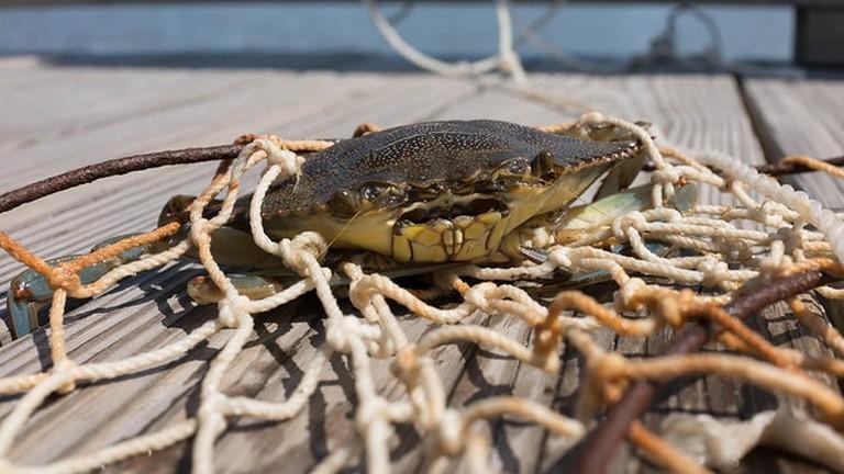 Live Maryland Blue Crab | © Austin Kirk/Flickr