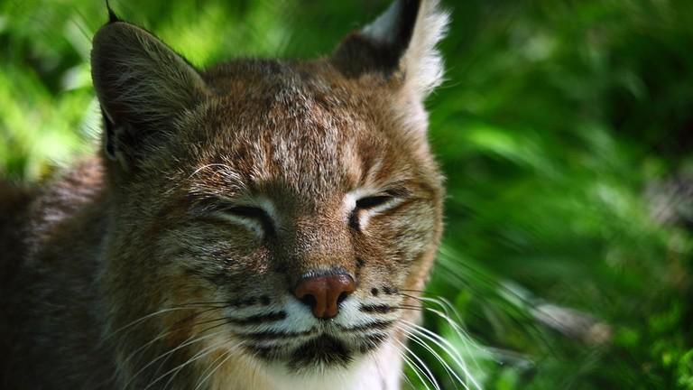 1024px-Bobcat_face_wildlife_46_-_West_Virginia_-_ForestWander