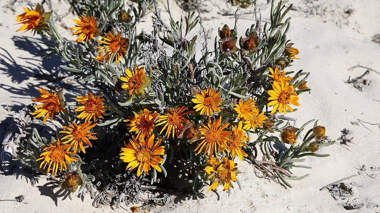 Colourful and hardy duneveld flowers