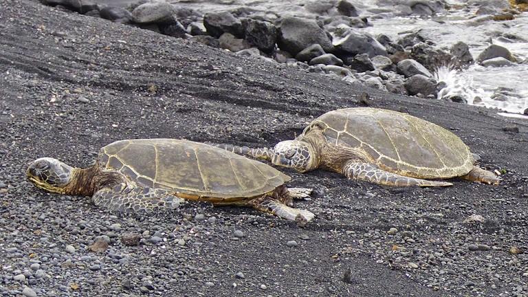 Honu at Punalu'u Beach   © Les Williams/Flickr