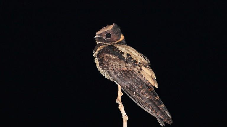 A nightjar at Tangkoko