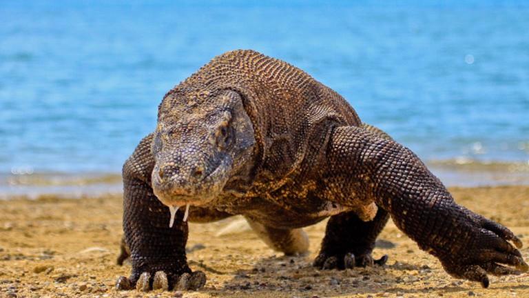 The Ancient Komodo Dragon