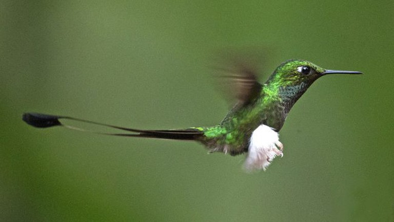 Booted Racket-tail, Tandayapa