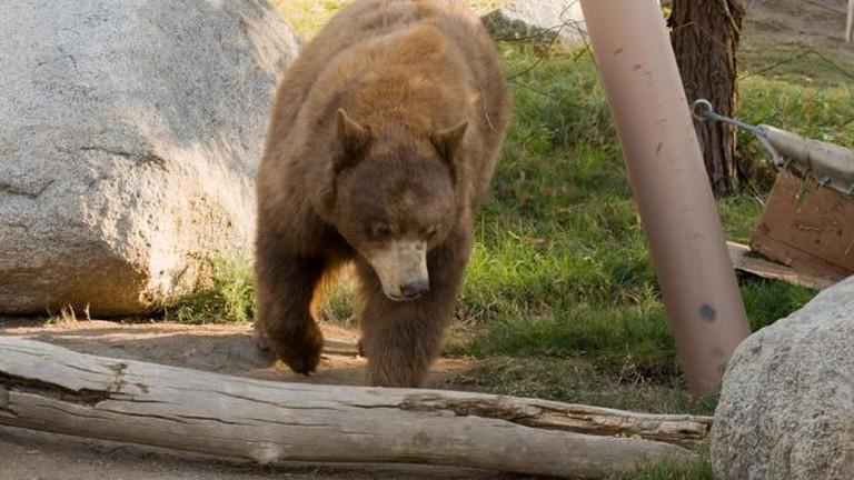 A Black Bear at CALM