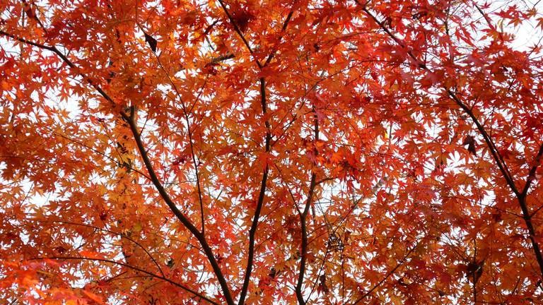minoo_minoh_park_momiji_maple_fall_leaves