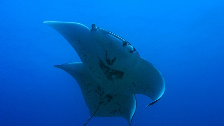 Manta Rays | © NOAA Office of National Marine Sanctuaries/Flickr