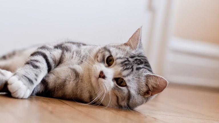 scottish-fold_cat
