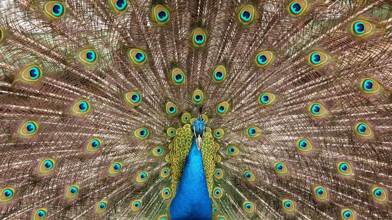 Peacock   © Mateusz Drogowski/Flickr