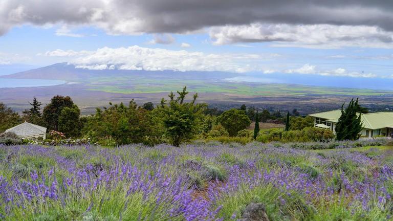 Ali'i Kula Lavender | © John Morgan/Flickr