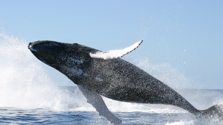 humpback-whale-jumping-CA