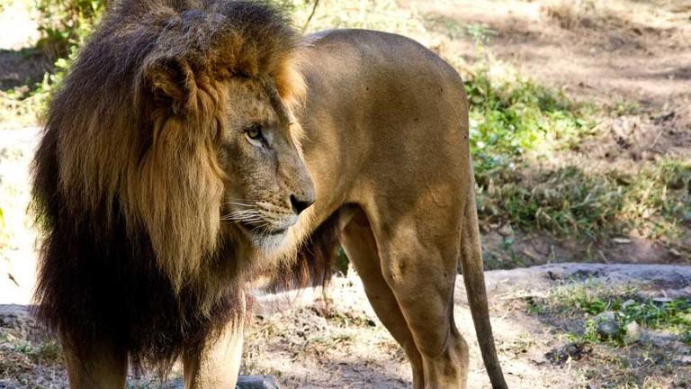 Lion at Busch Gardens, Tampa
