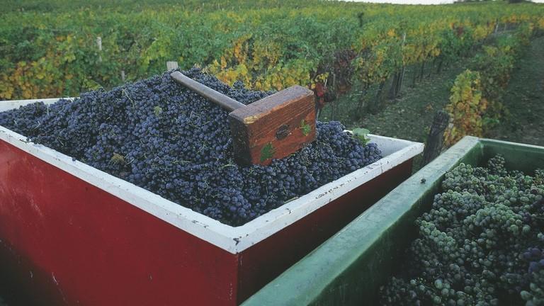 lowres_00000016449-harvesting-grapes-burgenland-oesterreich-werbung-Hans Wiesenhofer - Edited