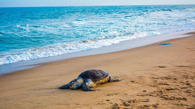 Olive_ridley_sea_turtle_(1)
