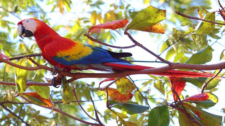 rainbow scarlet macaw in Costa Rica
