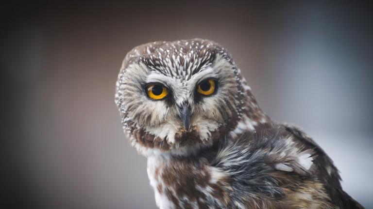 saw-whet-owl-wv