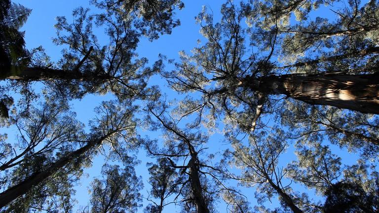 Trees in the Dandenong Ranges © Philip Mallis / Flickr