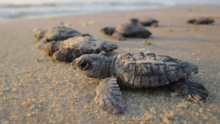 Baby sea turtles © Skeeze / Pixabay