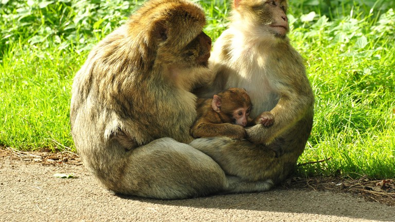 Barbery Macaque at Woburn Safari Park